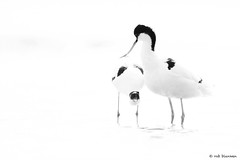 Pied avocet (Rob Blanken) Tags: piedavocet mating