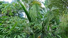 Kentiopsis oliviformis (Ben Caledonia) Tags: nouvellecalédonie newcaledonia palm palmier endémique