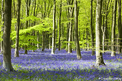 #GWW West Woods, Marlborough (credit GreatWestWay.co.uk) (visitwiltshire1) Tags: greatwestway wiltshire bluebells marlborough woods trees flowers