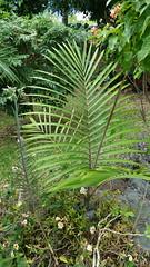 Kentiopsis magnifica (Ben Caledonia) Tags: nouvellecalédonie newcaledonia palm palmier endémique