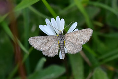 Marsh Pug ... Eupithecia pygmaeata (AndyorDij) Tags: lepidoptera nationalmothweek andrewdejardin england empinghammoths empingham rutland uk unitedkingdom marshpug eupitheciapygmaeata