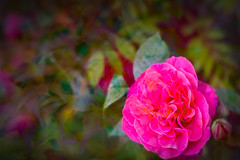 Textured rose (judy dean) Tags: judydean 2019 garden lensbaby rose gertrudejekyll pink texture ps leaves bokeh