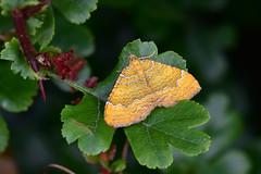 Yellow Shell ... Camptogramma bilineata (AndyorDij) Tags: lepidoptera nationalmothweek andrewdejardin england empinghammoths empingham rutland uk unitedkingdom yellowshell camptogrammabilineata