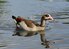 Egyptian Goose --- Alopochen aegyptiaca (creaturesnapper) Tags: birds waterbirds waterfowl geese uk europe maplelodge egyptiangoose alopochenaegyptiaca