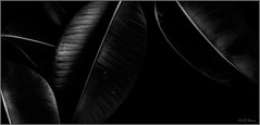 Leaves (Verma Ruchi) Tags: leaves bw