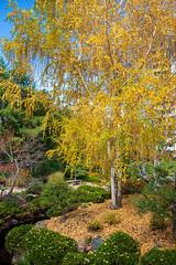 Japanese Garden (Snap Man) Tags: colorado denver denverbotanicgardens japanesegarden fallcolors
