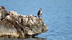 Cormorano (trexenda) Tags: natura uccelli sardegna parco isola mare cormorano
