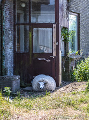 Hairy seal. No, just kidding. It,s a sheep after a visit to the downwind meadow adjacent to the local brewery. And yes, legless indeed afterwards . . (Eduard van Bergen) Tags: sheep androids sleeping electric house haus dugin wool pdick biological abandoned old vintage sleepy sleep still picture nap doorway legless head grass animals schaap dream dreaming hangover dutch loaded seal hairy brewery local meadow field wei