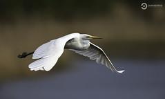 Great White Egret (Ardea alba) (Ouroboros Photography) Tags: ardeaalba avian bird greatwhiteegret hamwall levels naturereserve rspb somerset spring
