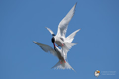 Arctic Tern (Simon Stobart) Tags: arctic tern sterna paradisaea fighting flying north east england uk