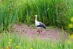 Cigogne Blanche (Ezzo33) Tags: cigogneblanche france gironde nouvelleaquitaine bordeaux ezzo33 nammour ezzat sony rx10m3 parc jardin oiseau oiseaux bird birds