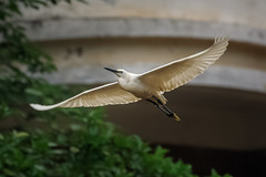 Little Egret (wn_j) Tags: birds birding birdsinflight wildlife wildanimals wildlifephotography egret littleegret china heron canon canon5d4 canon100400 nature naturephotography