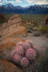 Pink Barrel (Mike Ver Sprill - Milky Way Mike) Tags: pink barrel cactus alabama hills california landscape nature mike ver sprill michael versprill mt whitney rocks rocky lone pine travel explore desert dry
