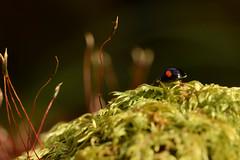 DSC_8492 (Hachimaki123) Tags: 日本 japan 御岳山 mitakesan mtmitake animal insect insecto coleopter coleóptero coleopteran coleoptero 虫 動物 ladybug mariquita