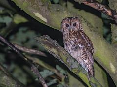 Another damp Tawny Owl (ukmjk) Tags: tawny owl tree staffordshire stoke bird nikon d500 70300vr sb900 night