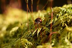 DSC_8494 (Hachimaki123) Tags: 日本 japan 御岳山 mitakesan mtmitake animal insect insecto coleopter coleóptero coleopteran coleoptero 虫 動物 ladybug mariquita