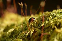 DSC_8493 (Hachimaki123) Tags: animal japan insect ladybug 日本 動物 insecto mitakesan mariquita 虫 coleoptero coleopter coleóptero mtmitake 御岳山 coleopteran