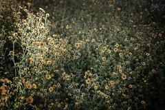 orange flowers (Robin Jaffray) Tags: leica leicam10p m10p summicron35 35mmsummicron kewgardens london