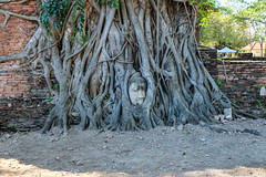 Buddha head in tree root in Mahathat temple. The famous temple Ayutthaya Thailand. (naiyofoto) Tags: ancient asian ruin buddhist nature buddhas monument city best world religion buddha sculpture historical root statue ayutthaya spiritual head site heritage tree antique faith temple thailand