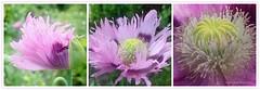 POPPY || PAPAVER || KLAPROOS (Anne-Miek Bibbe) Tags: poppy papaver klaproos mohn mohnblume mohnblüte mohnblumen pavot tuin garden jardin giardino jardim natuur nature bloei bloemen flowers flor flores bloom blumen fleur fleurs fiori fioritura canoneosm annemiekbibbe bibbe nederland 2019 juni june junio juin junhode voorjaar spring frühling primavera printemps lente roze pink rosa rose crazytuesday flower rozeklaproos pinkpoppy rozepapaver coquelicot