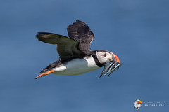 Puffin (Simon Stobart) Tags: puffin fratercula arctica flying north east england uk sandeels