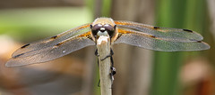 four spotted chaser (alunwilliams155) Tags: fourspottedchaser dragonfly libellulaquadrimaculata