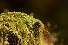 DSC_8491 (Hachimaki123) Tags: 日本 japan 御岳山 mitakesan mtmitake animal insect insecto coleopter coleóptero coleopteran coleoptero 虫 動物 ladybug mariquita