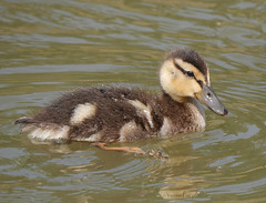 Duckling (yvonnepay615) Tags: panasonic lumix gh4 nature duckling holkham norfolk eastanglia uk coth coth5