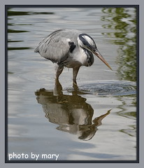 Heron (maryimackins) Tags: heron wildlife london mary mackins