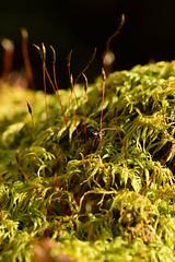 DSC_8499 (Hachimaki123) Tags: 日本 japan 御岳山 mitakesan mtmitake animal insect insecto coleopter coleóptero coleopteran coleoptero 虫 動物 ladybug mariquita
