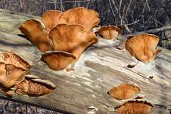 dried brackets, orange mock oyster (ophis) Tags: basidiomycota agaricomycetes agaricales tricholomataceae phyllotopsis phyllotopsisnidulans orangemockoyster ulmusamericana