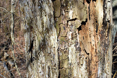 bark on dead elm (ophis) Tags: rosales ulmaceae ulmus ulmusamericana americanelm bark snag trunk