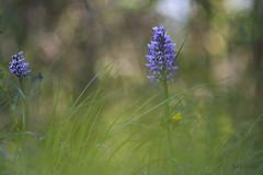 orchis militaris 3 (Joëlle Galley) Tags: orchidéessauvages fleursrares protéger bokeh m42 orchis