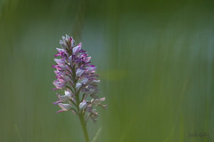 orchis militaris (Joëlle Galley) Tags: orchidéessauvages fleursrares protéger bokeh m42 orchis