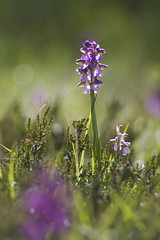 orchis bouffon 4 (Joëlle Galley) Tags: orchidéessauvages fleursrares protéger bokeh m42 orchis