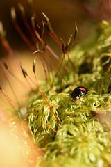 DSC_8502 (Hachimaki123) Tags: 日本 japan 御岳山 mitakesan mtmitake animal insect insecto coleopter coleóptero coleopteran coleoptero 虫 動物 ladybug mariquita