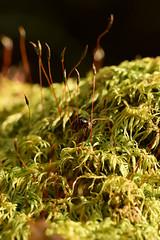 DSC_8498 (Hachimaki123) Tags: 日本 japan 御岳山 mitakesan mtmitake animal insect insecto coleopter coleóptero coleopteran coleoptero 虫 動物 ladybug mariquita