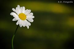 Natur / Nature (R.O. - Fotografie) Tags: natur nature nahaufnahme closeup close up bokeh rofotografie panasonic lumix dmcgx8 dmc gx8 gx 8 100400mm blume flower