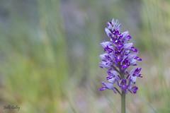 orchis militaris 1 (Joëlle Galley) Tags: orchidéessauvages fleursrares protéger bokeh m42 orchis
