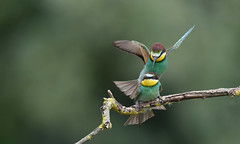 Accouplement (Guillaume Dardant) Tags: nature sauvage oiseaux bird loiret loire d810 nikon 500mmf4 méropidé guêpierdeurope coraciiformes meropsapiaster accouplement europeanbeeeater affût