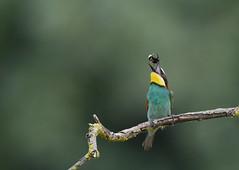 jonglage (Guillaume Dardant) Tags: nature sauvage oiseaux bird loiret loire d810 nikon 500mmf4 méropidé guêpierdeurope coraciiformes meropsapiaster affût europeanbeeeater