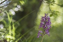 orchis militaris  hybride (Joëlle Galley) Tags: orchidéessauvages fleursrares protéger bokeh m42 orchis