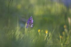 orchis militaris 2 (Joëlle Galley) Tags: orchidéessauvages fleursrares protéger bokeh m42 orchis