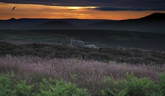 Scarthwood Moor (stupiduglyfool) Tags: silhouette northyorkshiremoors yorkshire northyorkshire osmotherley scarthwood moor moorland sheep sunrise heather