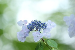 ajisai (* Yumi *) Tags: ajisai hydrangea flower 紫陽花 ガクアジサイ アジサイ 山アジサイ 高幡不動