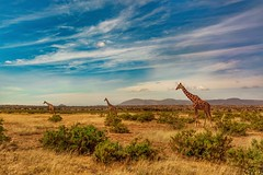 Reticulated Giraffes (miTsu-llaneous) Tags: animal animals wildlife giraffe giraffes reticulated nature kenya samburu reserve national africa landscape nikon naturephotography wildlifephotography safari travel advanture explore travelphotography africanwildlife d5200 tamron 1750