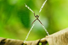 Spider and its codes (mattlaiphotos) Tags: 蜘蛛 蜘蛛網 spider web insect wildlife nature codes