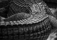American Alligator Texture (lambykeith1952) Tags: gator reptile skin armor creature tail spine curves