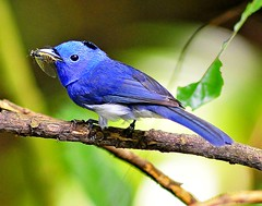 Black-naped Blue Monarch with Mogannia hebes (mattlaiphotos) Tags: 黑枕藍鶲 鳥 大坑 台中 bird avifauna birdwatching feather taichung taiwan nature wildlife moganniahebes 蟬 cicadidae insect forest