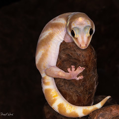 (PNWheat) Tags: reptile lizard gecko